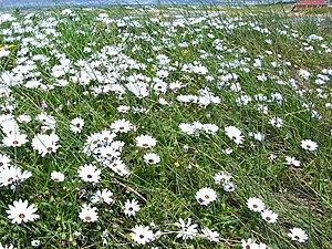 English: rain flowers