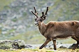 Reindeer in Kebnekaise.jpg