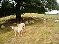 Resting sheep - geograph.org.uk - 210651.jpg