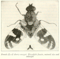 Rhagoletis fausta Herrick 1915.png