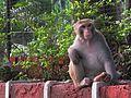 Rhesus-Monkeys3.jpg
