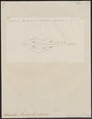 Rhinobatus thouini - 1700-1880 - Print - Iconographia Zoologica - Special Collections University of Amsterdam - UBA01 IZ14200019.tif