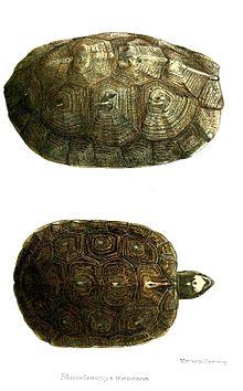 斑点木纹龟