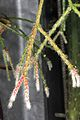 Rhipsalis pilocarpa pm 1.JPG