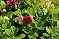 Rhododendron-campylogynum-flowers.jpg