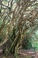 Rhododendron davidsonianum - Caerhayes Castle gardens - Cornwall, England - DSC03247.jpg