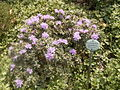 Rhododendron impeditum 'Pigmaem' 04-05-2006 14.03.38.JPG