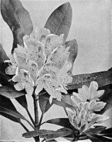 Rhododendron maximum WFNY-f023.jpg