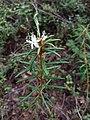 Rhododendron tomentosum sl1.jpg