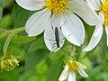 Rhopalophora tenuis - Cerambycidae.jpg
