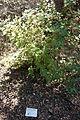 Ribes malvaceum - UC Davis Arboretum - DSC03412.JPG