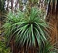 Richea pandanifolia fragment2.jpg