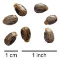 Ricinus communis semen.png