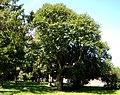 Rimavská Sobota - Castanea sativa - City park -1.jpg