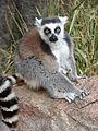 Ring-Tailed Lemur, Anja Reserve (3953827770).jpg