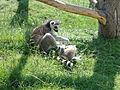 Ring-tailed lemurs at Amazon World Zoo 2.JPG
