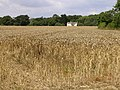 Ripe wheatfield between Exbury and Lepe - geograph.org.uk - 33291.jpg