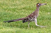 圖 3: Roadrunner (走鵑),一種鳥類,於路地奔跑最快可達時速 24 公里。