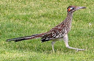 Roadrunner genus of birds