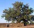 Roble del cementrio viejo Codesal Zamora.jpg