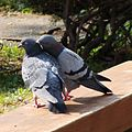Rock Pigeon Courting 01.JPG