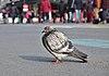 Rock dove (Columba livia) standing on place de la Bourse, Brussels, Belgium (DSCF4429).jpg