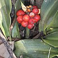 Rohdea japonica (fruits s8).jpg