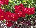 Rosa-redribbons.jpg