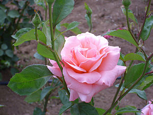 Rosa 'Queen Elizabeth' Lammerts ParquePozoNorte Puertollano.jpg