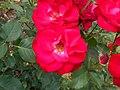 Rosa Hans Christian Andersen 2018-07-10 5929.jpg