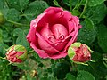 Rosa Lady of Megginch 2019-06-07 1246.jpg
