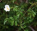 Rosa micrantha 3.jpg