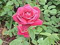 Rosa sp.72.jpg