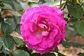 Rose Violette Parfumee 20070601.jpg