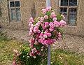 Rose bush at Hnaberd, Ararat.jpg