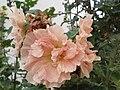 Roses trémières saumon doubles.jpg