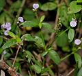 Rostellularia species in Talakona forest, AP W IMG 8313.jpg