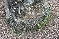 Roystonea regia 13zz.jpg