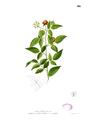 Rubus acuminatissimus Blanco2.416.png
