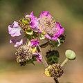 Rubus ulmifolius, flowers and buds, Vias, Hérault 01.jpg