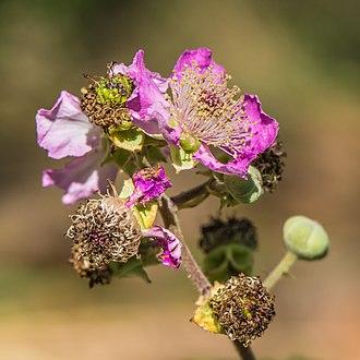 Rubus ulmifolius - Flower and buds