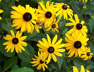 Rudbeckia with insect.jpg