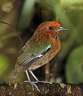 Rufous-headed ground-roller (Atelornis crossleyi).jpg