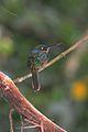 Rufous-tailed Jacamar (8264647396).jpg