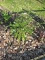Ruhland, Ortrander Str. 16, Aschgrauer Spierstrauch im Garten, blühend, Frühling, 01.jpg