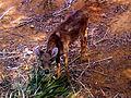 Rusa unicolor Sambar deer IGZoo Visakhapatnam.jpg