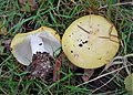 Russula sp - Flickr - gailhampshire.jpg