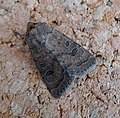 Rustic. Hoplodrina blanda - Flickr - gailhampshire (3).jpg