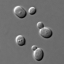 Yeast cells with dark borders to the upper left and bright borders to lower right