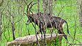 Sable Antelope (Hippotragus niger) (6017312742).jpg